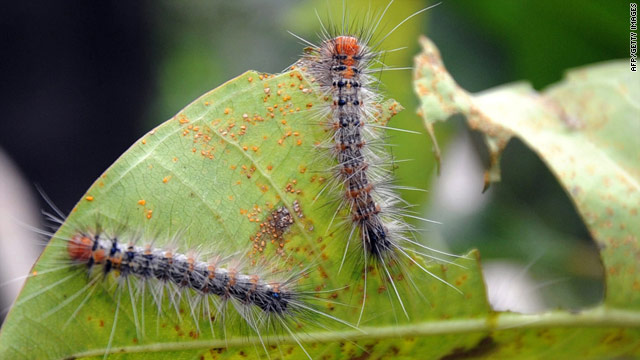 Hairy caterpillars swarm over parts of Indonesia