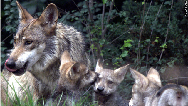 Budget bill add-on would impact wolves