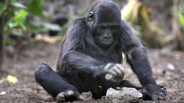 DRC gorillas increase despite war, census finds