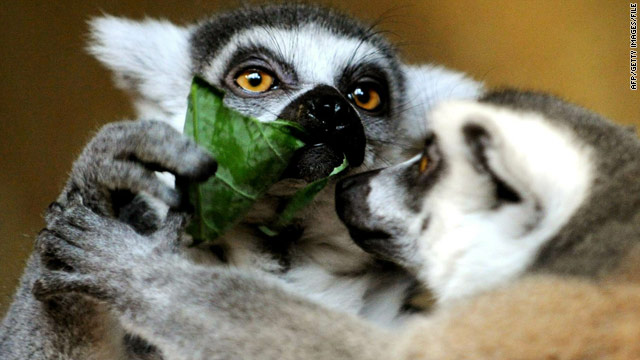 Branson giving Caribbean island to lemurs
