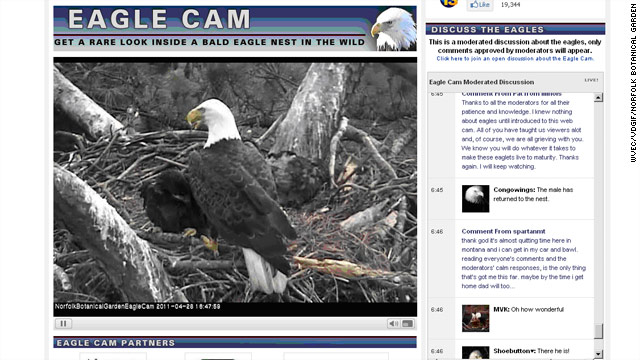 Bald eagle with Web following struck, killed by plane
