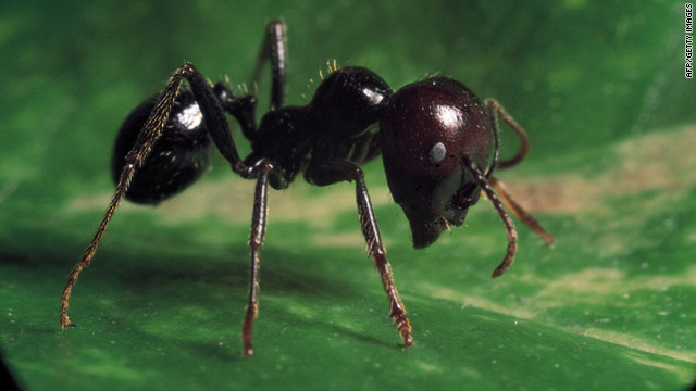 Ants using chemical warfare, class project finds