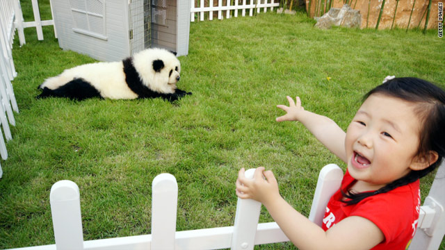 Dog is painted as a baby giant panda during the launch of a new pet