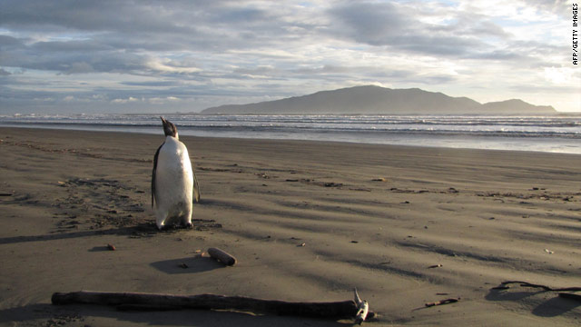 Stranded penguin reported critically ill
