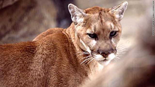 Mountain lion reported loose in Ohio