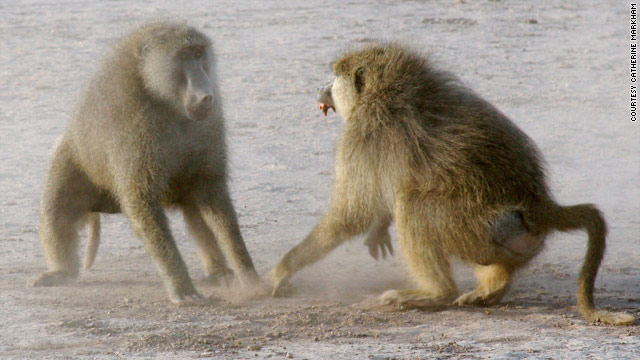 Powerful baboon males stressed out