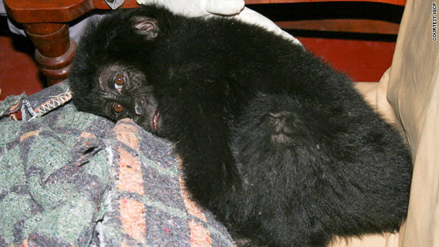 Endangered baby gorilla rescued from smugglers