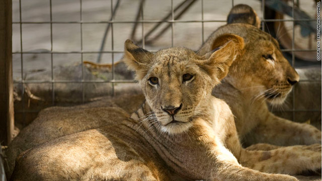 Lion smugglers plague Somalia