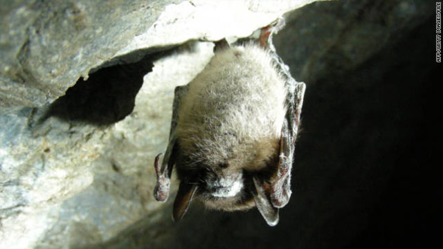 Scientists struggle to fight disease that could wipe out hibernating bats