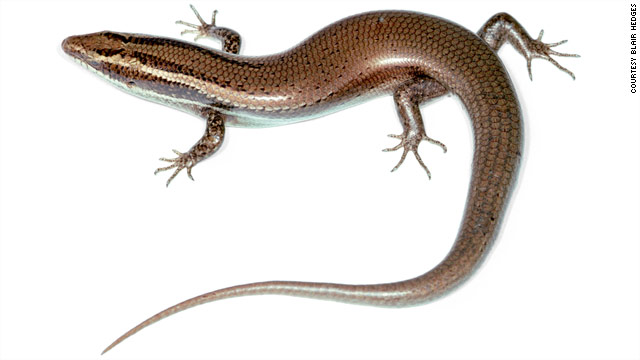 Dozens of threatened species of lizards discovered