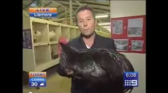 See Reporter Panic Over Flapping Chicken