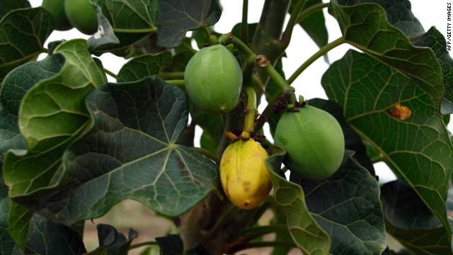 Jatropha seeds are a source of biofuel.