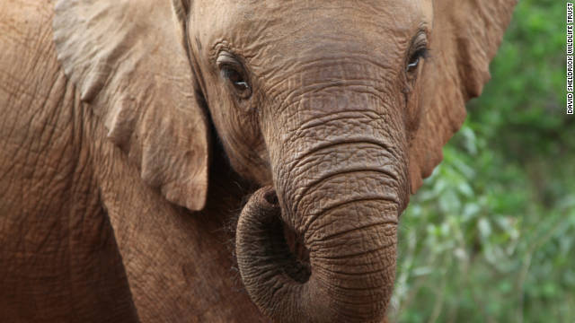 The DSWT is famous for hand rearing orphaned elephants and it runs what has been described as the world's most successful rescue and rehabilitation centre for orphaned elephants.