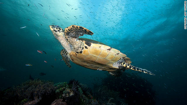 Hawkbill turtles (pictured) have seen worldwide populations decline due to demand for their shells, according to the report's authors