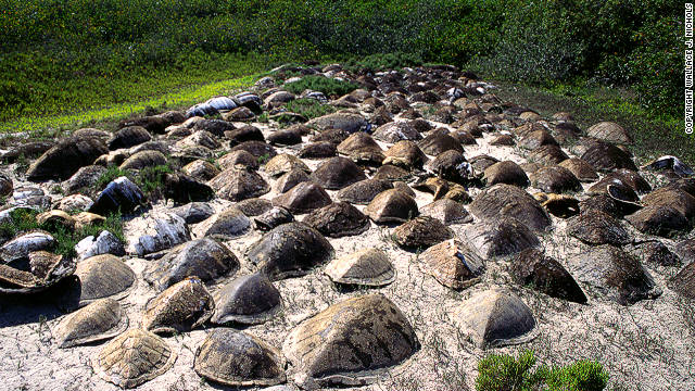 Loggerhead turtles nesting near the North Pacific Ocean. According to conservationists this species is most threatened by &quot;severe bycatch&quot; (snagged in fisherman targeting other species) in Mexico and Japan