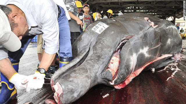 Fishermen butcher a bottlenose whale at the Wada port east of Tokyo on June 25, 2008.