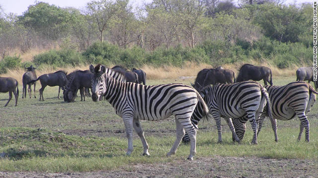 &quot;The zebra and the wildebeest, they are friends,&quot; said safari guide Kgotla &quot;Balepi&quot; Mokwami.