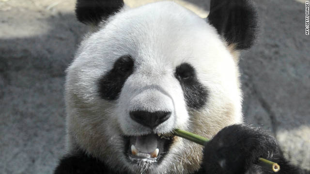 Pandas' eating habits decoded