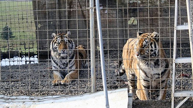 Two tigers that lived on Thompson's farm are seen about a year ago. Thompson was convicted of animal cruelty and animals at large in 2005.