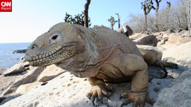 A male giant land iguana basks in a beautiful day. Manosalvas says the islands are &quot;majestic, but they are in danger&quot; because of overbuilding. She says she believes this is because of locals and big companies, not tourists. Manosalvas says some folks cannot believe she lives on the islands. &quot;Many people think you can only visit Galapagos by taking a cruise, but you can make any of the inhabited islands your destination, not just a short stop on a cruise.&quot;