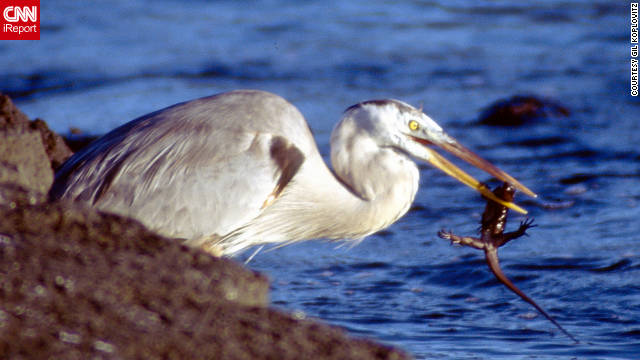 Looks like this heron has found its lunch for the day: a marine iguana. Gil Koplovitz, 34, of Auburn, Alabama, got some nice up-close shots of animals while visiting the Galapagos Islands in August 2001. He is a postdoctoral research fellow in biology at Auburn University. The trip to the Galapagos was part of a six-month backpacking expedition through South America.
