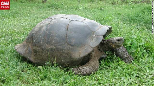 The iconic Galapagos tortoise roams the grass majestically. &quot;The Galapagos Islands are unique in that you can see many endemic species, those found nowhere else on earth,&quot; Bandyopadhyay said. &quot;The other remarkable thing is that the birds and animals are totally fearless. The birds will never fly away when you get close, and the animals, like the sea lions, iguanas and tortoises will keep approaching you. This makes it very easy to take nice photographs of these beautiful species.&quot;
