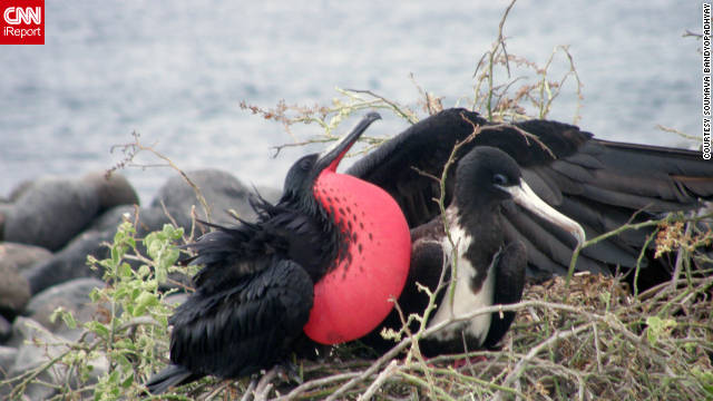 Soumava Bandyopadhyay of Beaumont, Texas, photographed these frigate birds during his December 2009 visit. The males have a puffy red throat that they use to attract mates. Bandyopadhyay stayed on a 16-passenger yacht that provided accommodations and meals.