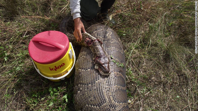 Pythons wiping out mammals in Everglades, researchers say