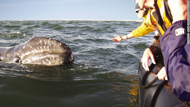 Wintering in Baja California, where the desert meets the sea, can bring you really close to gray whales migrating south to rear their young.