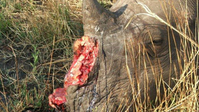 Africa's black rhino has recently been announced as extinct. Here, a rhino lies dead after poachers took its horn in Mpumalanga state, in September this year.