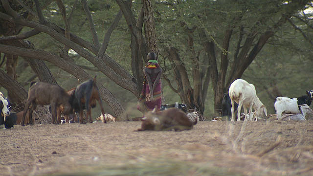 Herd sizes have been reduced dramatically for the Turkana as rains come less frequently and less predictably.