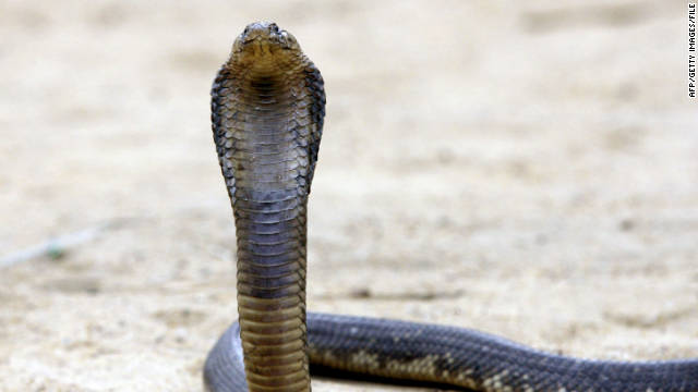 Snake charmer unleashes cobras in India office