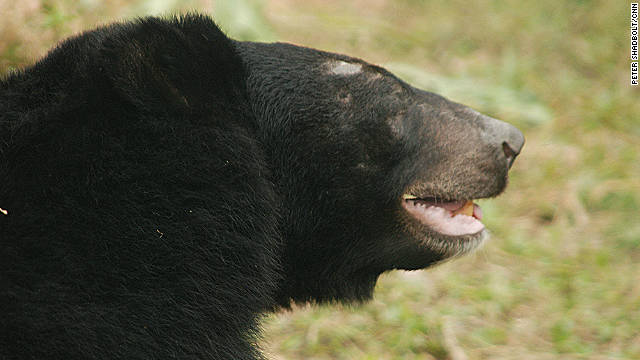 Bald patches from repetitive behaviours are signs of recent captivity on bear farms.