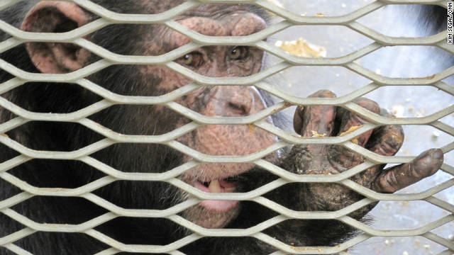 Restricted use of chimps in government research recommended