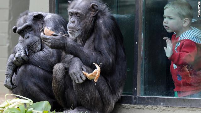 Estados Unidos restringe el uso de chimpancés para experimentos