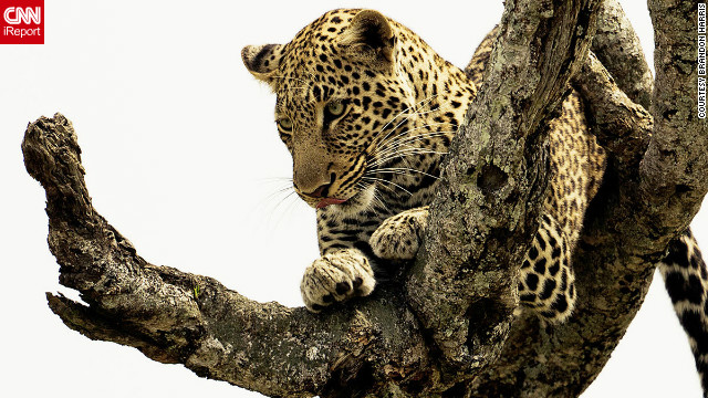 "Brandon Harris of Chicago managed to get a shot of the elusive leopard while on safari. ""An hour into the game drive, we found this leopard resting in his tree, scanning the Mara for his next meal,"" he said."