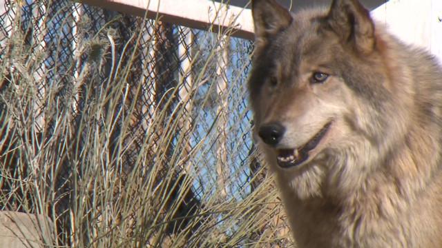 Al rescate de los perros lobo de Alaska