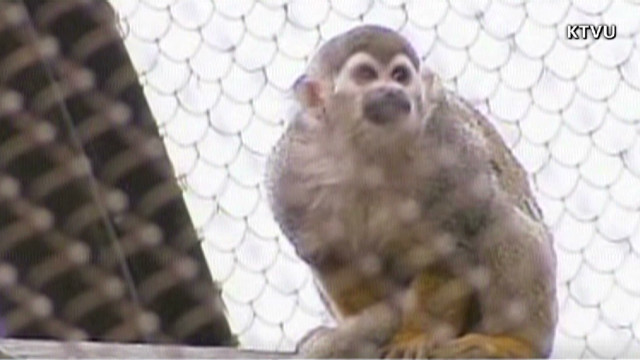 Banana-Sam, who was stolen from the San Francisco Zoo, was found Saturday safe, but hungry, officials said.