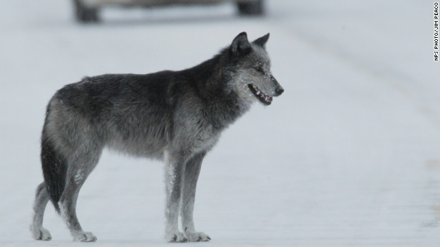 Wolves eat elk, make Yellowstone a better place, researchers say