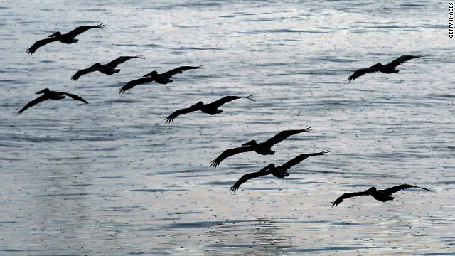 Pelicans fly along the Louisiana coast in August 2010 as cleanup efforts continued after the Gulf oil spill.