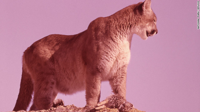 School scraps 'Cougars' as mascot after complaints that it's derogatory