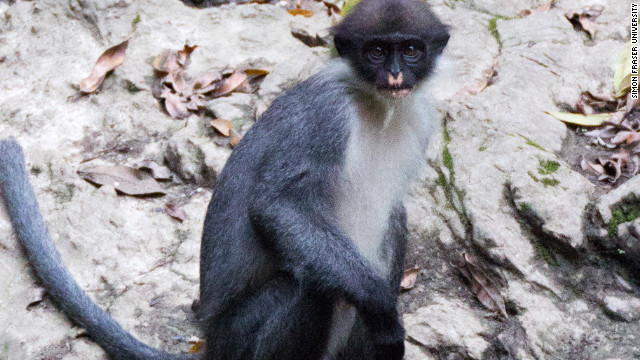 Monkey some thought extinct found in Borneo forest