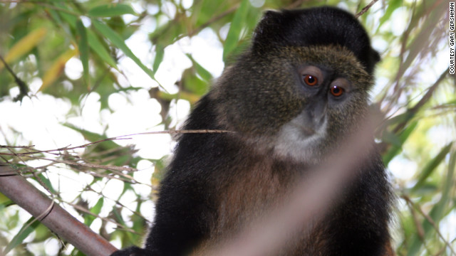 Golden Monkey treks are also offered in the park.