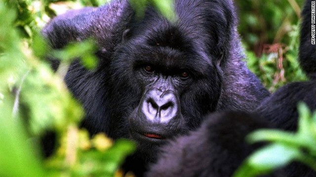 The chance to see gorillas in the wild draws tourists to Rwanda's Volcanoes National Park.