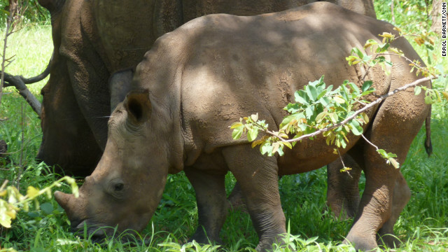 "In the background is ""Inonge,"" who was brought to Zambia from South Africa, where poachers are pushing one type of white rhino to extinction. With her is her baby, ""Hope"" -- the first of its kind born at the Mosi-oa-Tunya park ."
