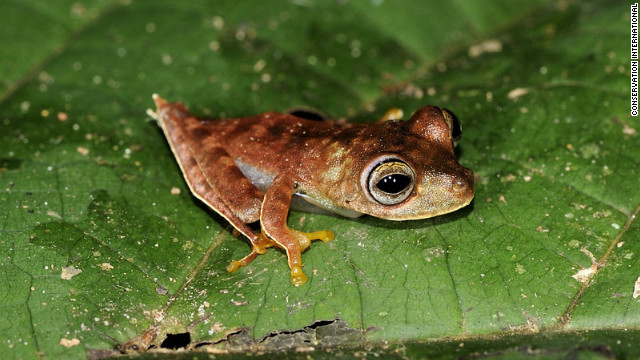 "Nicknamed the ""Cowboy Frog"", this tiny amphibian has white fringes along its legs and a spur on its heel. It is thought to be a new species."