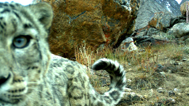 A snow leopard plays with a camera during a biodiversity survey in the Zorkul Nature Reserve in Tajikistan.