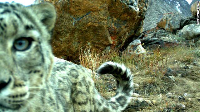 """Unos cachorros de tigre siberiano """"roban cámara"""" en Tayikistán"""