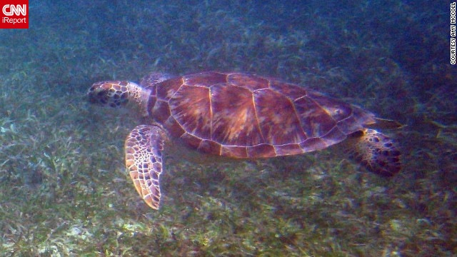 Amy McColl took this photo of a sea turtle while snorkeling. &quot;My absolute favorite thing to do on St. John is snorkeling, and I love the fact that you can simply walk into the water and see amazing sea life.&quot;