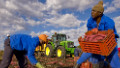 Farmers dig up sweet potatoes in Brits, near Pretoria, South Africa.